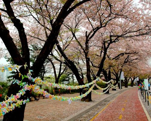 Seoul Cherry Blossom Festival 7