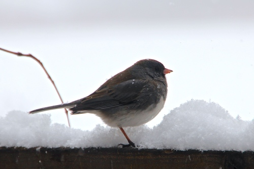 Snowflakes on Junco 2.24.15