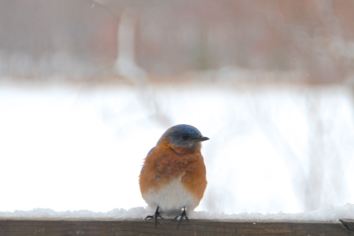 Snowy Day  Bluebird