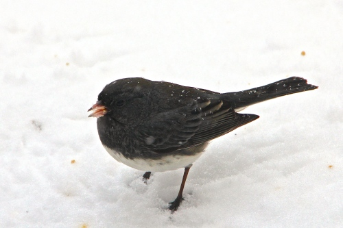 Snowy Junco stamping ground