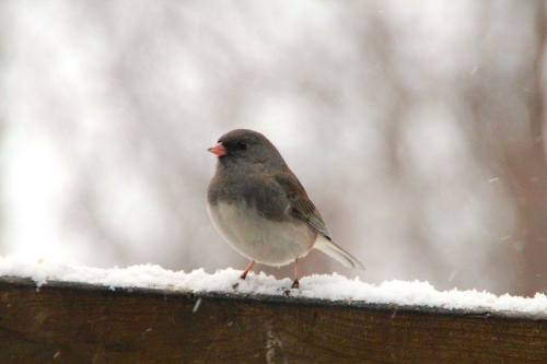 Snowy Junco