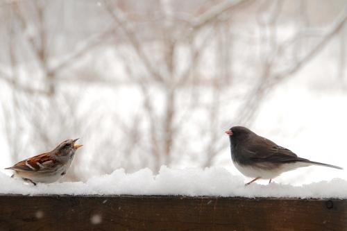 Sparrow complaining to junco