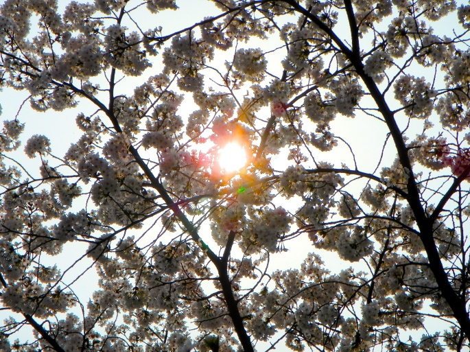 Sun Behind Cherry Blossoms