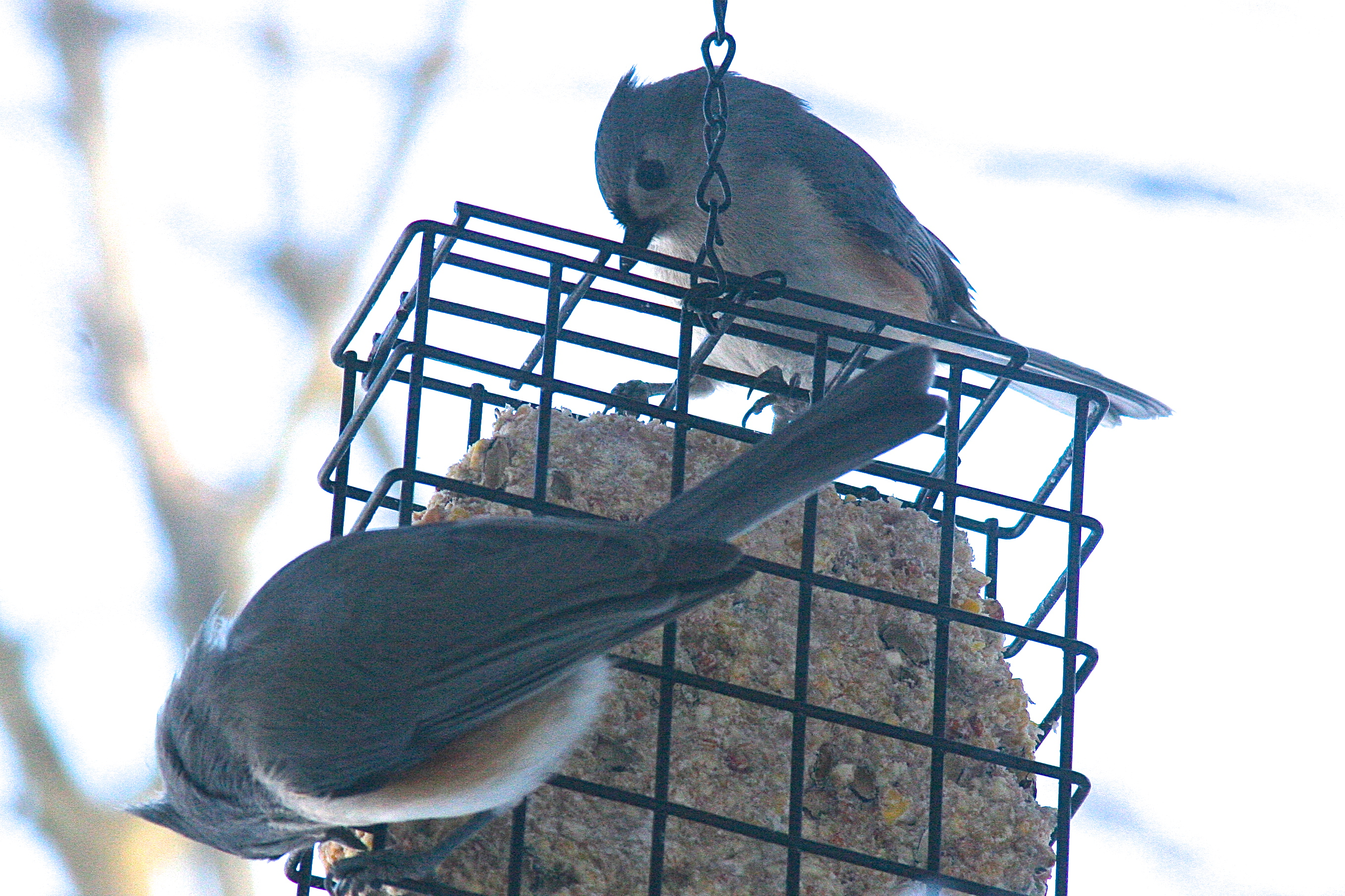Titmice. Two at feeder