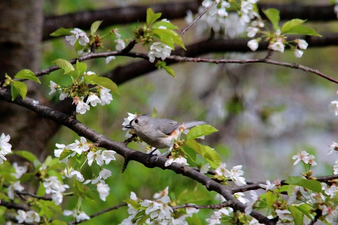 Titmouse in a Cherry Tree 5.13.14
