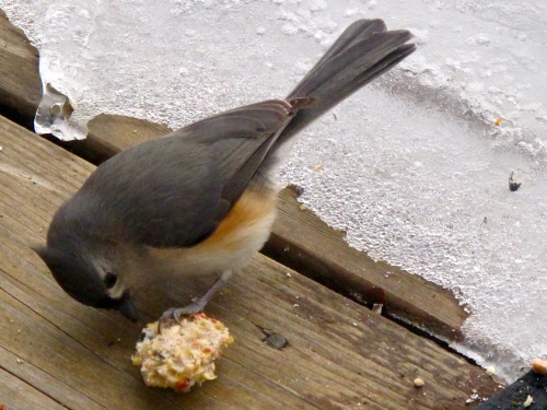 Tufted Titmouse +1.15.10