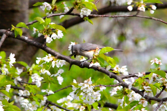 Tufted Titmouse 5.13.14