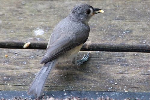Tufted Titmouse 6.28.12 2