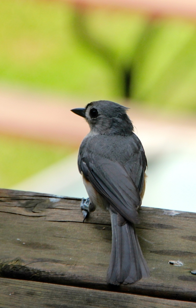 Tufted Titmouse 6.28.12 back feathers