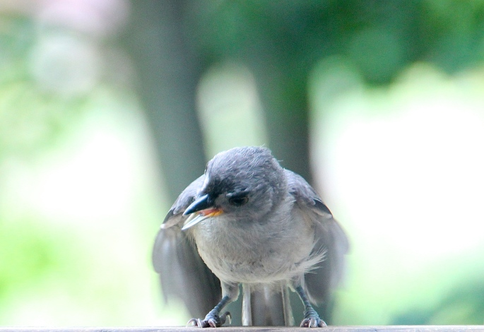 Tufted Titmouse 6.28.12 Dancing 1