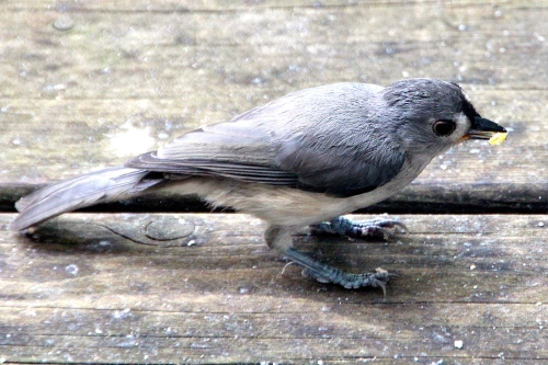Tufted Titmouse 6.28.12 with food