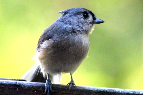 Tufted Titmouse+ 9.18.14