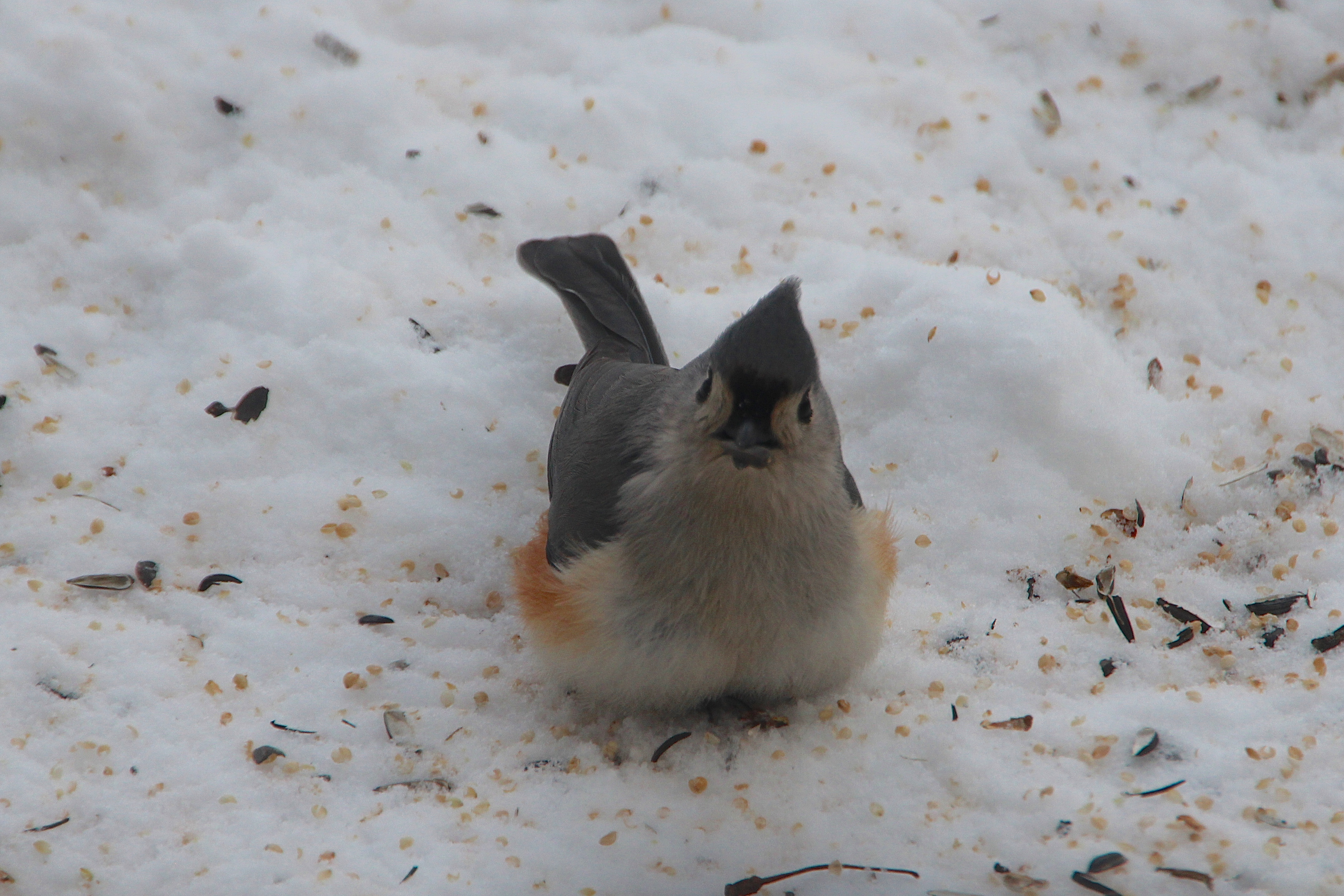 Tufted Titmouse eating seeds 2.20.15