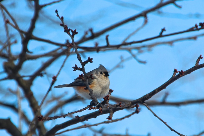 Tufted Titmouse Fluffed up in cold