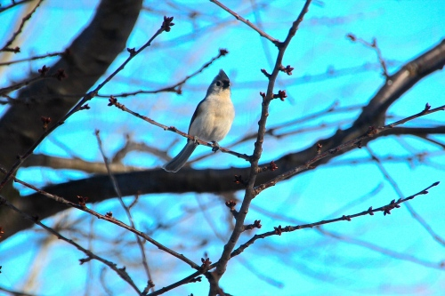 Tufted Titmouse in tree 3.13.15