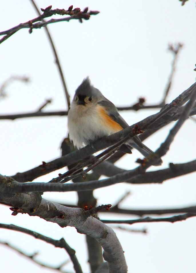Tufted Titmouse in tree. Cold 2.20.15