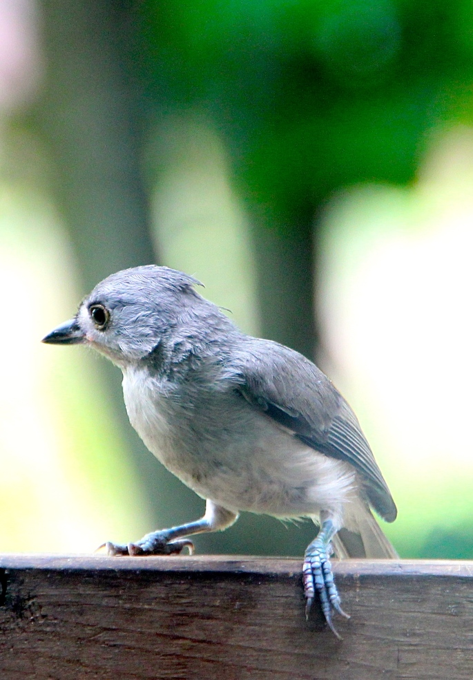 Tufted titmouse on railing