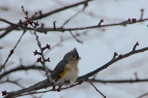 Tufted Titmouse Singing 2.20.15
