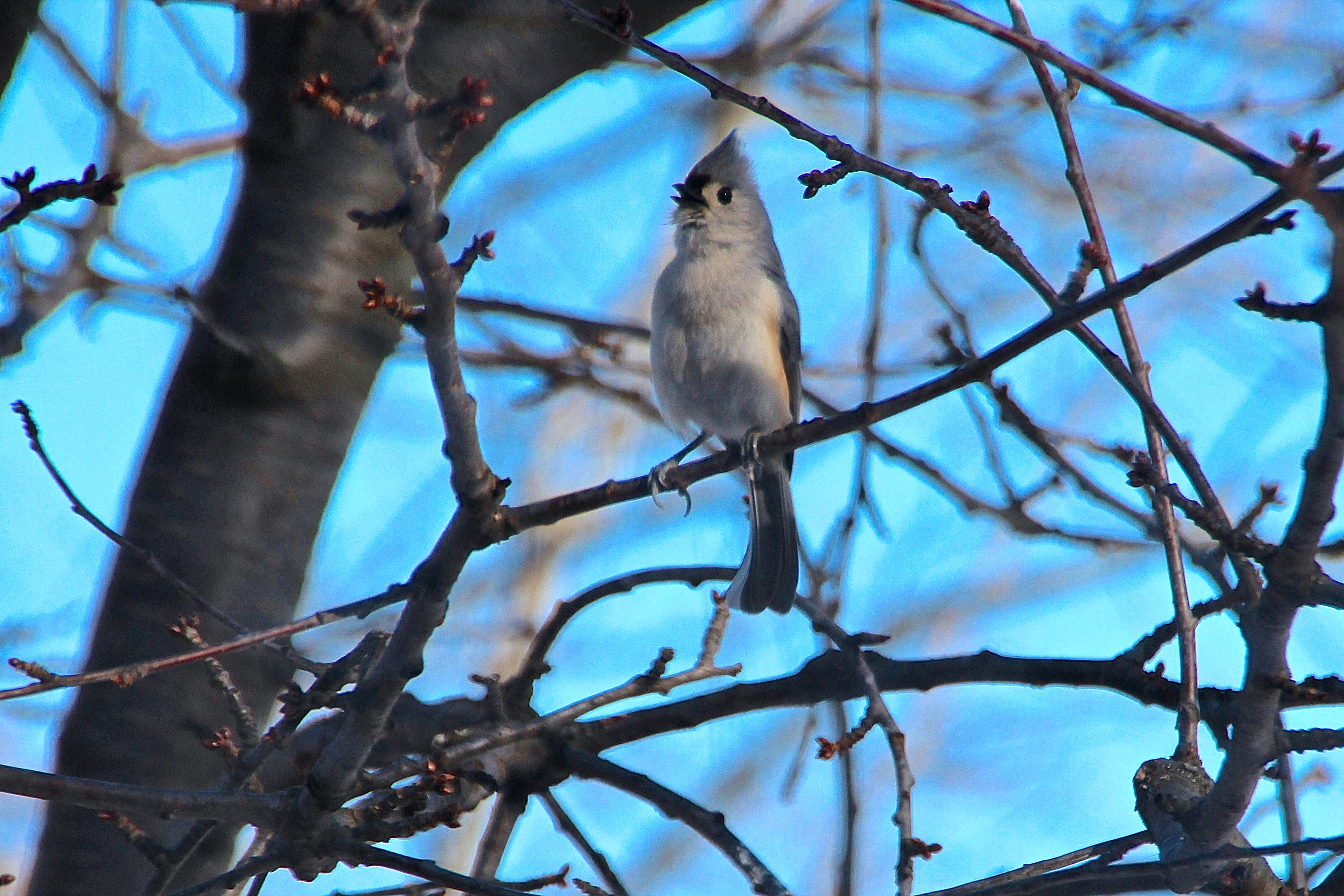 Tufted Titmouse singing in tree 3.13.15