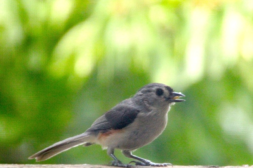 Tufted Titmouse with seed; crest down
