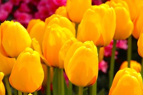 Tulips 4.8.15 S. Korea copy