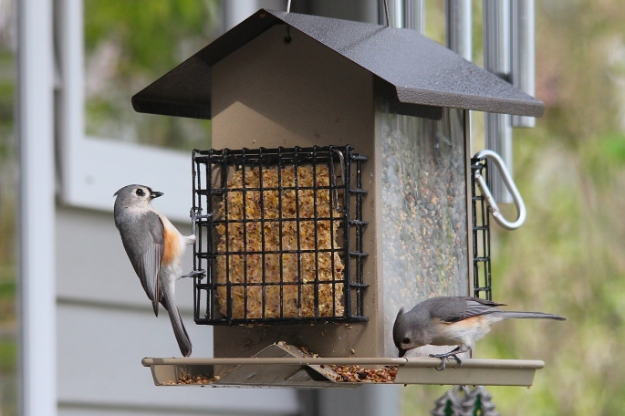 Two tufted titmice at feeder