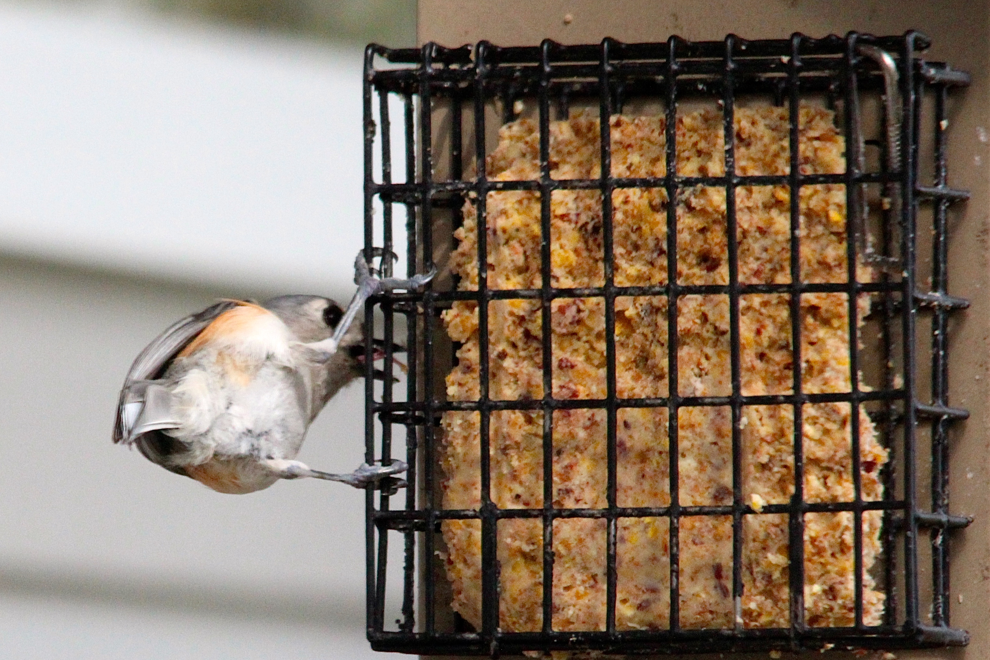 Underside of tufted titmouse