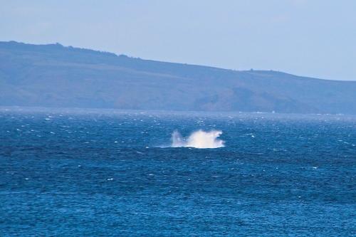 Whale play Maui
