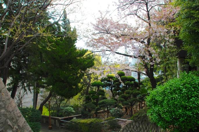 Cherry Blossoms in Yongdusan Park