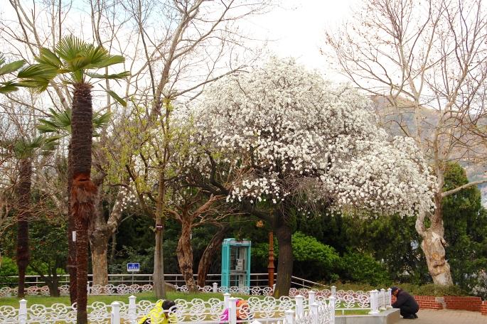 Cherry trees in Yondusan Park