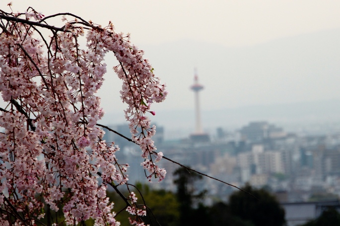 Kyoto City Scape+ Cherry Blossoms