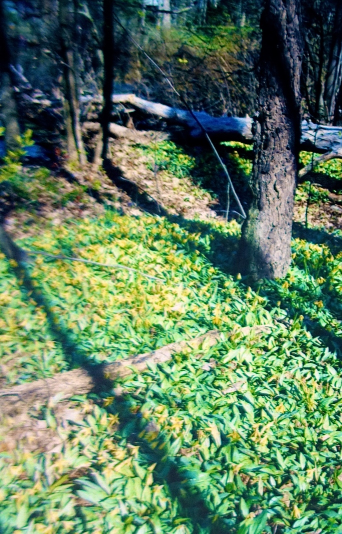 Trout lilies in woods