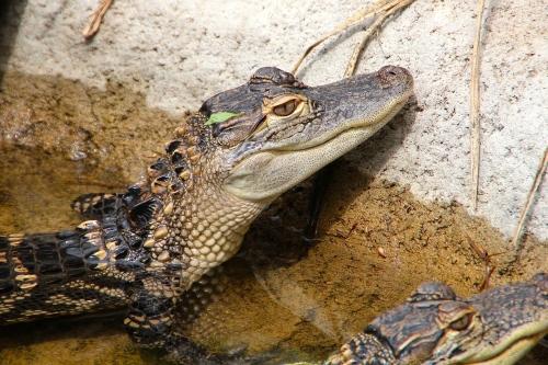 Alligator 5.13.15