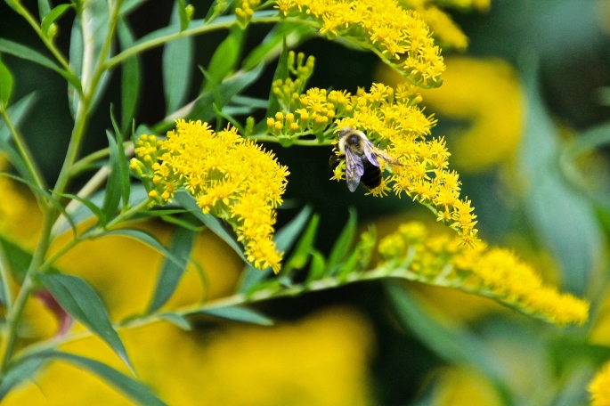 Bee, goldenrod