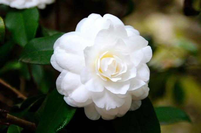 Camellia. Shanghai