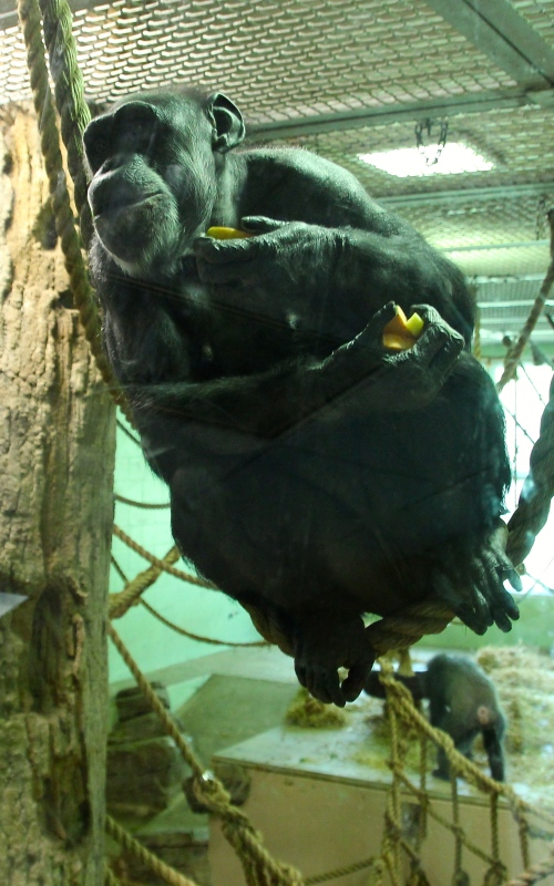 Chimps eating lunch 5.13.15
