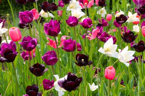 Holland Tulip Time Festival  10