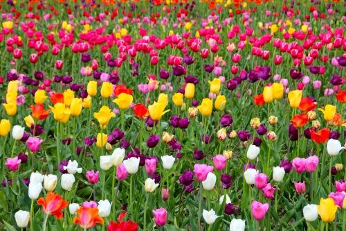 Holland Tulip Time Festival 3