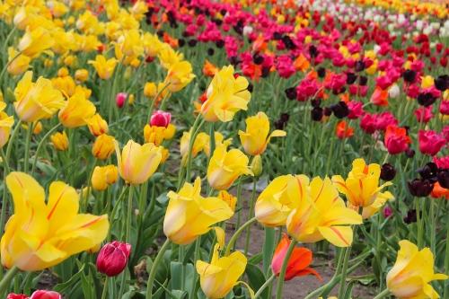 Holland Tulip Time Festival 4