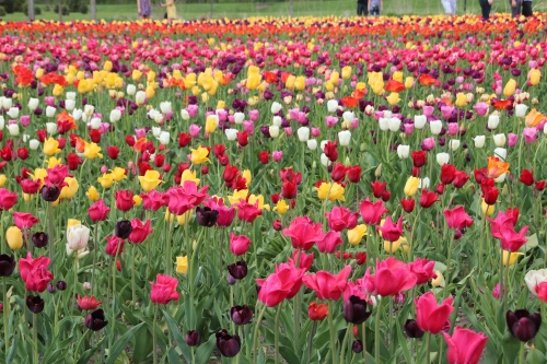 Holland Tulip Time Festival 5