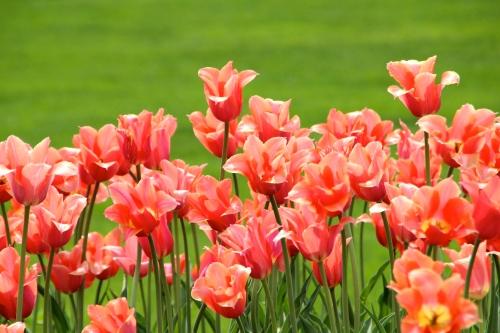 Holland Tulip Time Festival 6
