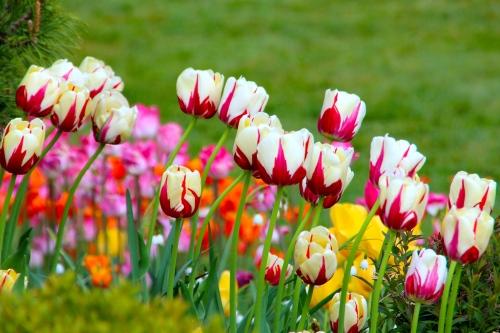 Holland Tulip Time Festival 7