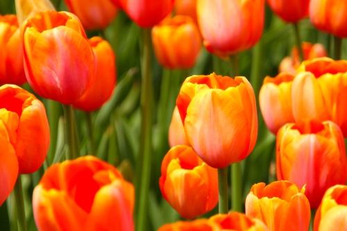 Holland Tulip Time Festival 8