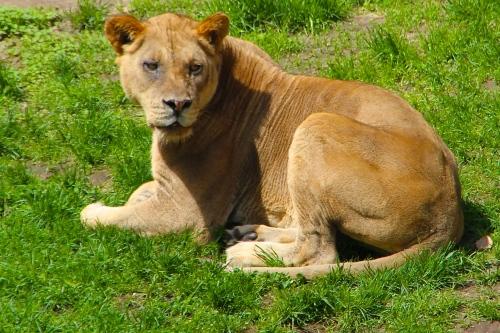 Lion 5.13.15
