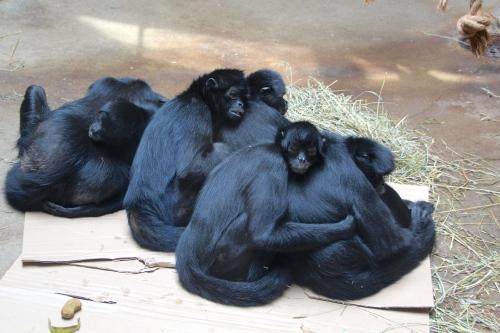 Monkeys taking nap 5.13.15