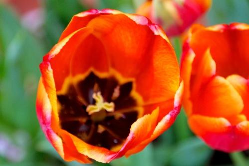 Orange Tulips. Japan