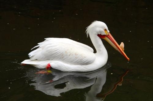 Pelican. 5.13.15 JB Zoo