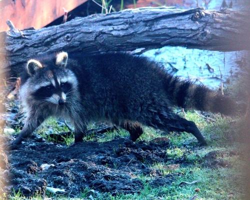 Raccoon in evening