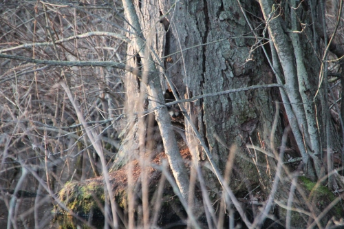 Raccoon in snag