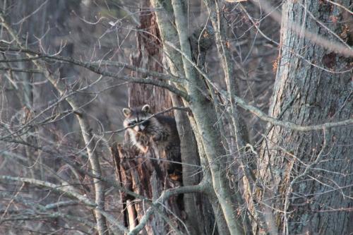 Raccoon in stump